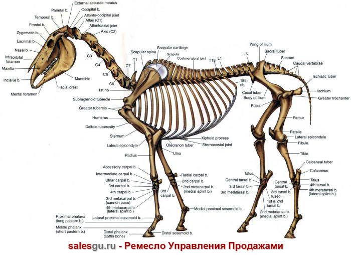 skelet-loshadi-dohlaya-loshad