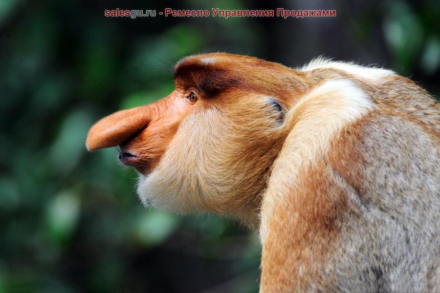 обезьяны-носачи_monkey_Nosach_Sales_gu-ru