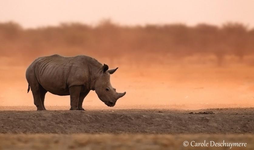 Последний из носорогов. Автор фото: Кэрол Дешуимере (Carole Deschuymere)