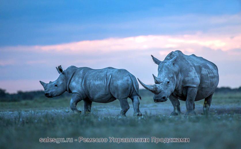 Белые носороги. Автор фото: Хендри Вентер (Hendri Venter)