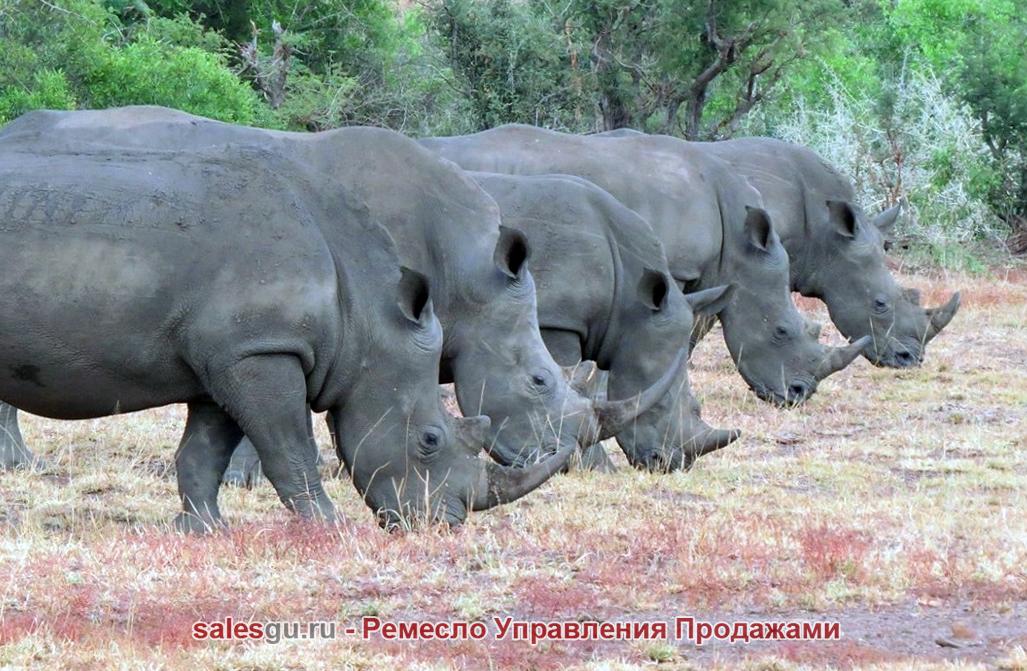 Группа носорогов  в Национальном парке Крюгера в Южной Африке. Barcroft Media